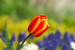 Kleurrijke Tulp Stock Fotografie