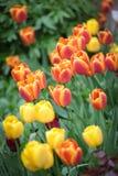 Kleurrijke tulp Stock Foto