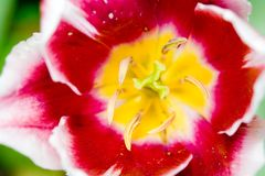 Kleurrijke tulp royalty-vrije stock afbeelding