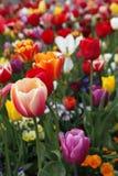 Kleurrijke tulpen Stock Foto's