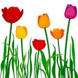 Kleurrijke tulpen Stock Afbeelding