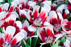 Kleurrijke tulpen Stock Afbeeldingen