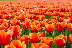 Kleurrijke tulpen Stock Fotografie