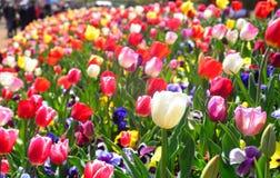 Kleurrijke tulpen in Australië Royalty-vrije Stock Foto's