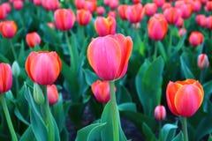 Kleurrijke tulpen in de lente Stock Fotografie