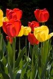 Kleurrijke tulpen in de lente Stock Afbeeldingen