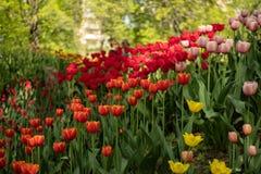 Kleurrijke tulpen in de lente royalty-vrije stock foto