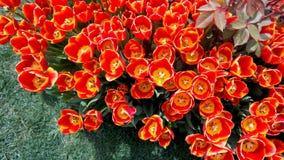 Kleurrijke tulpen die in het park bloeien royalty-vrije stock afbeeldingen