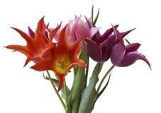 Kleurrijke tulpen die op wit worden geïsoleerd Royalty-vrije Stock Foto's