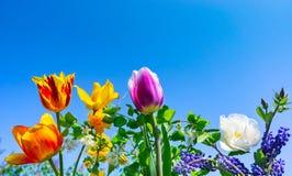 Kleurrijke tulpen, Druivenhyacinten en gouden bloemen, hemel royalty-vrije stock afbeeldingen