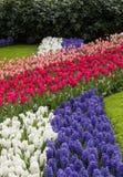 Kleurrijke tulpen en hyacinten die in een tuin bloeien stock fotografie