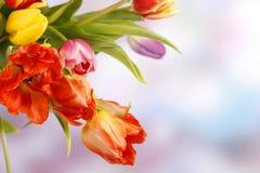 Kleurrijke tulpen op blauwe violette achtergrond Royalty-vrije Stock Afbeeldingen