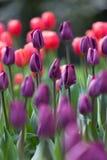 Kleurrijke tulpen op vage achtergrond Royalty-vrije Stock Foto's