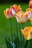 Kleurrijke tulpen op vage achtergrond Royalty-vrije Stock Afbeeldingen