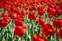 Kleurrijke Tulpen in Tuin stock afbeeldingen