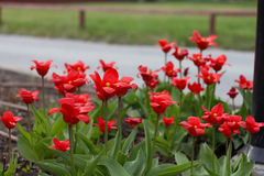 Kleurrijke tulpen, tulpen in de lente stock afbeeldingen