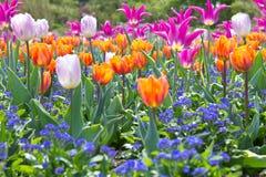 Kleurrijke tulpenbloemen Stock Foto
