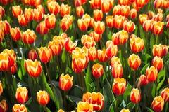 Kleurrijke tulpenbloemen als achtergrond in de tuin Royalty-vrije Stock Foto's
