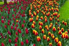 Kleurrijke tulpenbloemen in de lentepark Bloemlandschap Royalty-vrije Stock Fotografie