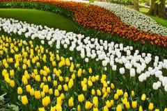 Kleurrijke tulpenbloemen in de lentepark Bloemlandschap Royalty-vrije Stock Foto