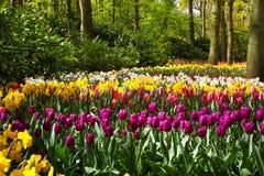 Kleurrijke tulpenbloemen in de lentepark Bloemlandschap Royalty-vrije Stock Afbeeldingen