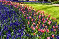 Kleurrijke tulpenbloemen in de lentepark Bloemlandschap Stock Fotografie