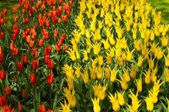 Kleurrijke tulpenbloemen in de lentepark Bloemlandschap Stock Foto's