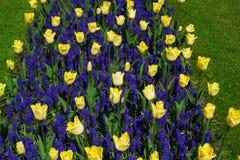 Kleurrijke tulpenbloemen in de lentepark Bloemlandschap Stock Afbeelding