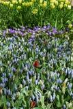 Kleurrijke tulpenbloemen in de lentepark Bloemlandschap Royalty-vrije Stock Afbeelding