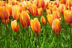 Kleurrijke tulpenbloemen in de lentepark Bloemlandschap Stock Afbeeldingen