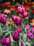 Kleurrijke tulpenbloemen in de tuin royalty-vrije stock foto's