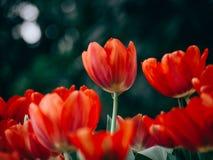Kleurrijke tulpenbloemen in de tuin stock afbeelding
