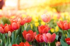 Kleurrijke tulpenbloemen in de tuin Mooi boeket van tuli stock afbeeldingen