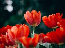 Kleurrijke tulpenbloemen in de tuin Mooi boeket van tuli royalty-vrije stock foto