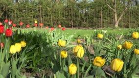 Kleurrijke tulpenbloemen in een zonnig groen de lentepark, tuin 4K stock videobeelden