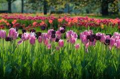 Kleurrijke tulpenbloemen in twee lijnen in park Royalty-vrije Stock Foto
