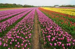 Kleurrijke tulpengebieden Royalty-vrije Stock Afbeelding