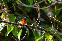 Kleurrijke uiterst kleine Mevr. De toppositie van Gould sunbird op Wilde Himalayan-Kersentak royalty-vrije stock afbeelding