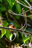 Kleurrijke uiterst kleine Mevr. De toppositie van Gould sunbird op Wilde Himalayan-Kersentak royalty-vrije stock fotografie