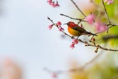 Kleurrijke uiterst kleine Mevr. De toppositie van Gould sunbird op Wilde Himalayan-Kersentak stock fotografie
