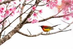 Kleurrijke uiterst kleine Mevr. De toppositie van Gould sunbird op Wilde Himalayan-Kersentak stock foto's