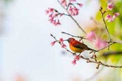 Kleurrijke uiterst kleine Mevr. De toppositie van Gould sunbird op Wilde Himalayan-Kersentak stock afbeeldingen