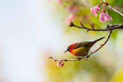 Kleurrijke uiterst kleine Mevr. De toppositie van Gould sunbird op Wilde Himalayan-Kersentak royalty-vrije stock foto