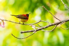 Kleurrijke uiterst kleine Mevr. De toppositie van Gould sunbird op Wilde Himalayan-Kersentak royalty-vrije stock afbeeldingen