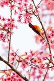 Kleurrijke uiterst kleine Mevr. De toppositie van Gould sunbird op Wilde Himalayan-Kersentak royalty-vrije stock foto's
