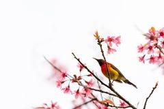Kleurrijke uiterst kleine Mevr. De toppositie van Gould sunbird op Wilde Himalayan-Kersentak stock foto