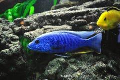 Kleurrijke vissen in aquarium stock fotografie