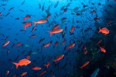 Kleurrijke Vissen dichtbij Rocky Reef stock foto's