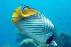Kleurrijke vissen in het Rode Overzees stock afbeelding