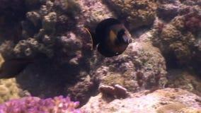 Kleurrijke vissen onderwater in oceaan van het wild Filippijnen stock footage